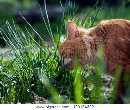 The cat is eating green grass. Big cat, fluffy, red