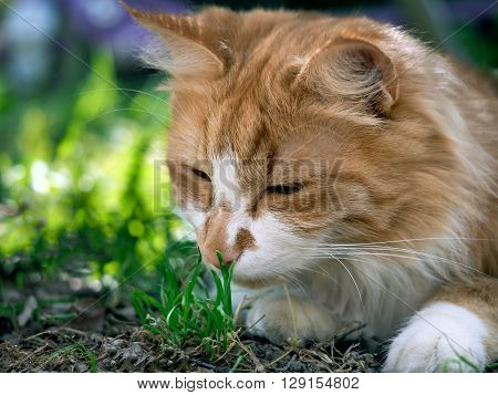 Cat smelling a young green grass. Big cat muzzle. Big cat, fluffy, red.