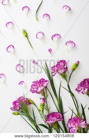 Carnation flowers for mother's day or women's day. Flowers and petals flat lay on white.