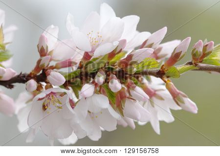 Springtime garden, blooming cherry tree branch. flowers, branch with buds