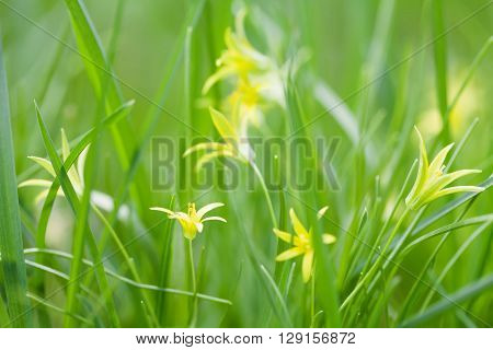 Small yellow Gagea lutea flowers, fresh grass background. Yellow Star of Bethlehem spring flowers in the lily family. Perennial herb, first plant in broad-leaved forests.