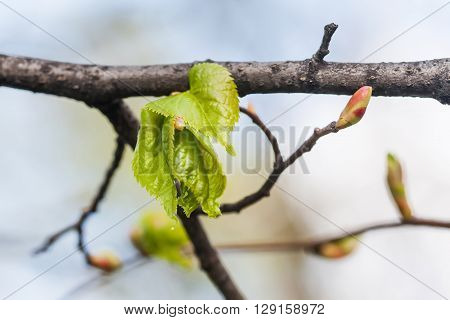 Linden twig, branch with fresh green leaf. Budding, embryonic shoot macro view. soft background.