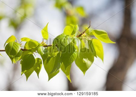 Poplar tree branch with fresh green leaves. sunny day park