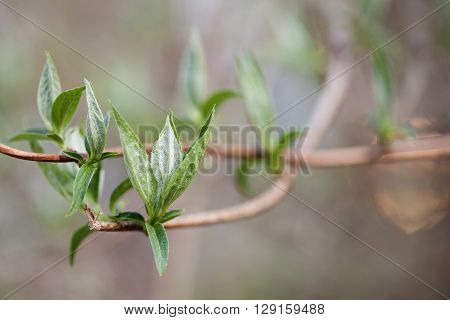 Green leaves of lilac branch. Growth concept. Spring in the garden. soft  background.
