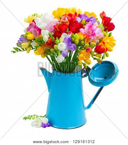 Fresh freesia flowers in blue metal pot isolated on white background