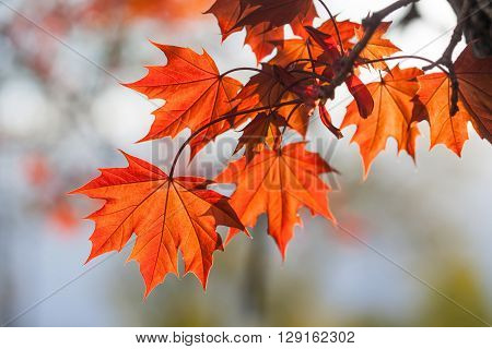Spring time colorful scene. maple tree branch with red leaves, sunny day. soft focus, shallow depth