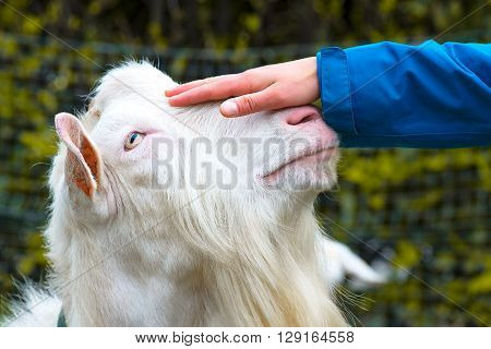 Hand caressing the head of a white goat