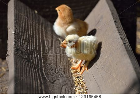 Two cute yellow and brown little chicken on a farm standing on wood at the sun. Newly hatched chicks on a chicken farm. Lights and shadows. Selective focus