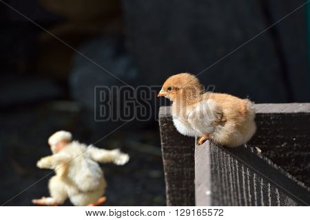 Two Cure Yellow And Brown Little Chicken On A Farm, The Naked Neck Chicken Is Jumping From A Wood. L