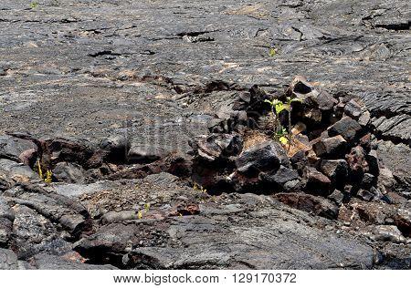 Black Lava And Green Plants
