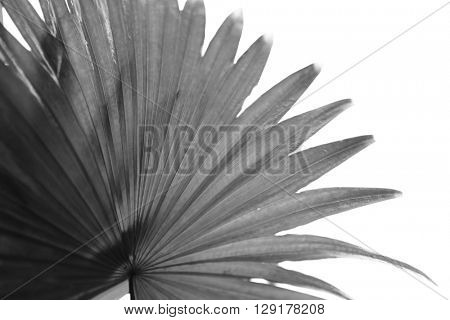 Silouette of beautiful palms leaf, on white background