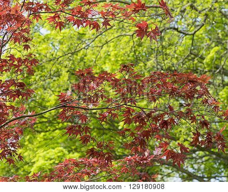 Red japanese maple tree branches in spring