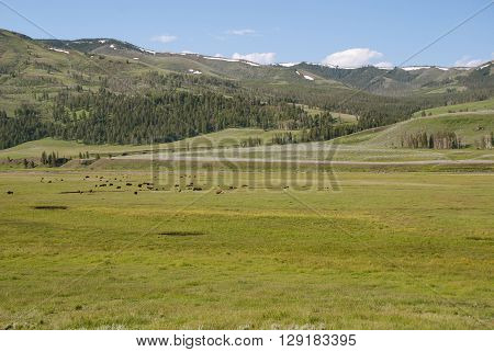 A herd of bisons grazing in the valley Lamar River Yellowstone National Park