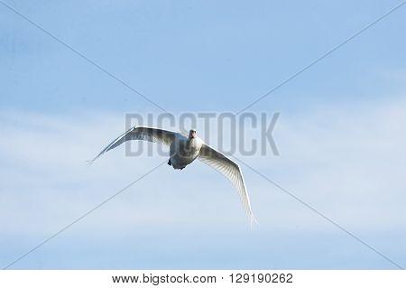 Mute Swan eye contact as it flies past