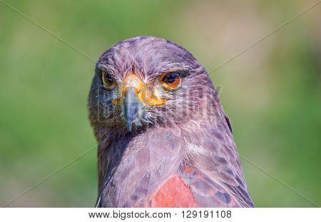 Desert buzzard portrait in frot of a green background ** Note: Visible grain at 100%, best at smaller sizes