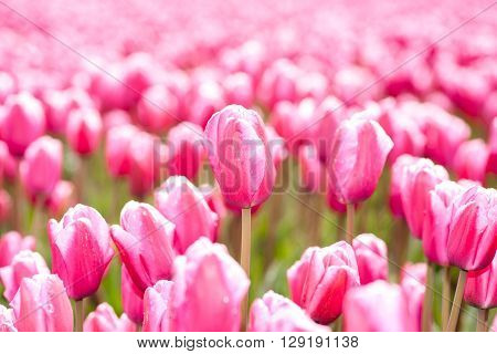 Red purple tulips on a field in the Dutch polder