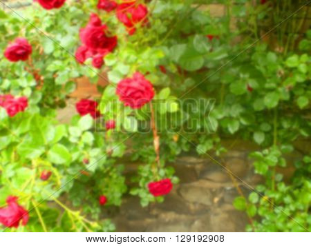 Blurred image of rose bush on stonewall. Floral background