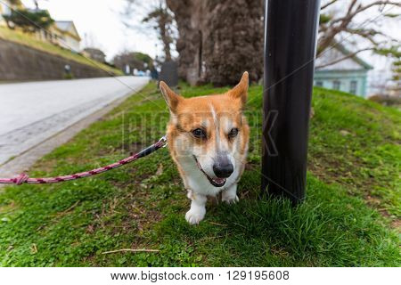 Welsh Corgi Pembroke Dog On Grass Field