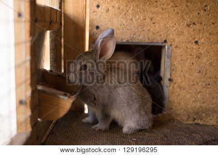 Small Furry Bunny Feeding In Farm Hutch