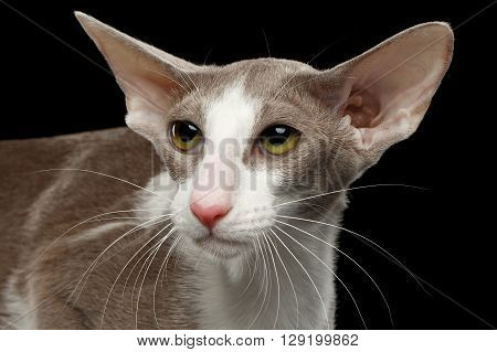 Closeup Portrait of White Oriental Cat With Big Ears Looking up Black Isolated Background