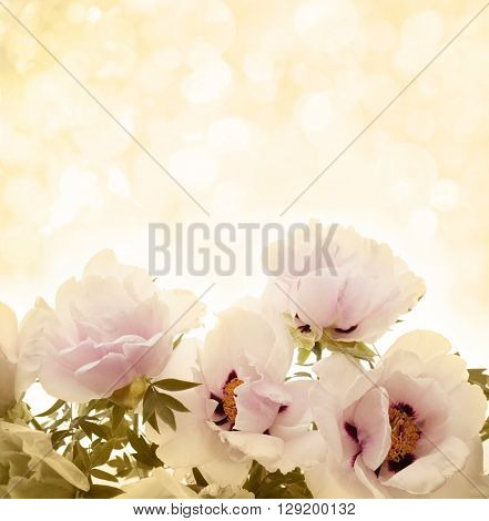 Pink blossom peonies background.Spring Flowers.