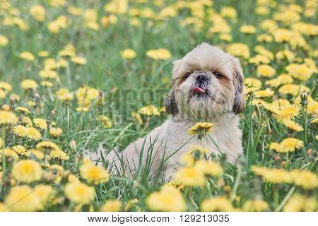 Cute happy shitzu dog puppy laying on fresh summer grass