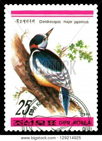 STAVROPOL RUSSIA - APRIL 30 2016: a stamp printed in DPRK shows Japonicus major Dendrocopos Birds series circa 1988
