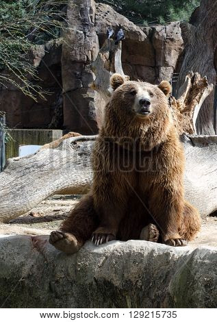 Brown grizzly bear is sitting and thinking