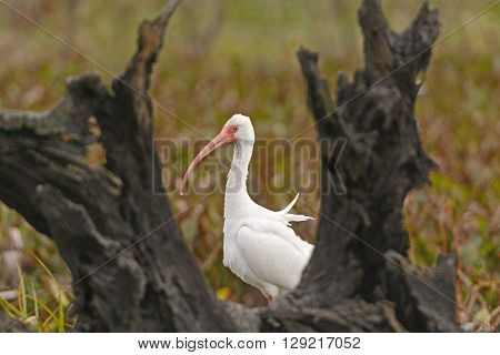 White Ibis Peeking Out From Behind a Tree in Brazos Bend State Park in Texas