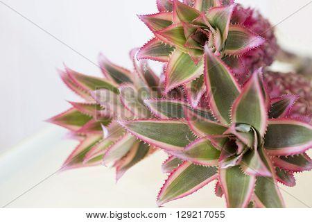 Dwarf Mini Pink Pineapples on white wood background