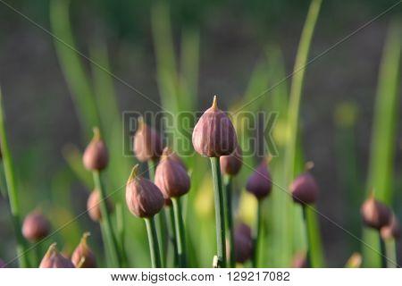 flowering onion, purple flower, plants, spring, green