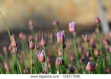 flowering onion,  green, plants, spring, flower, purple flower