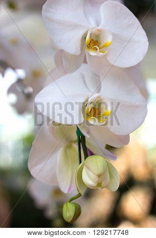 white phalaenopsis orchid flower in the garden