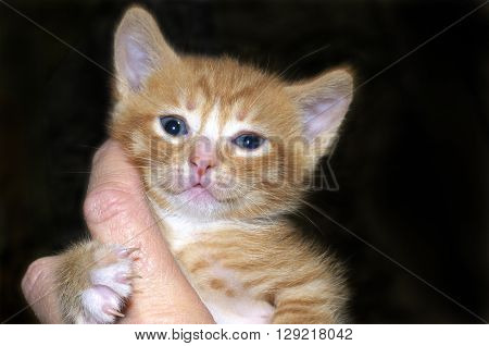 Orange and white ginger tabby kitten held in hand with human finger held by kittens paw on a dark background kitten looking up at camera