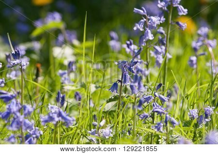 Bluebells flowering in tall grass in a summer meadow