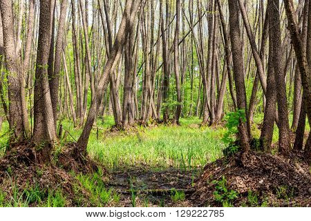 spring scene with trees on swamp in forest