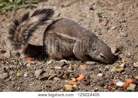 Cape ground squirrel (Xerus inauris). Wild life animal.
