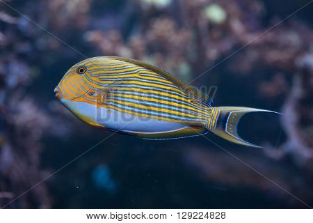 Blue banded surgeonfish (Acanthurus lineatus), also known as the zebra surgeonfish. Wild life animal.