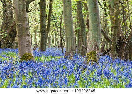 Bluebell Carpet Among Old Maple Tree Trunks