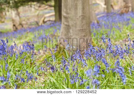 British Forest Meadow at Spring with Tiny Bluebell Flowers
