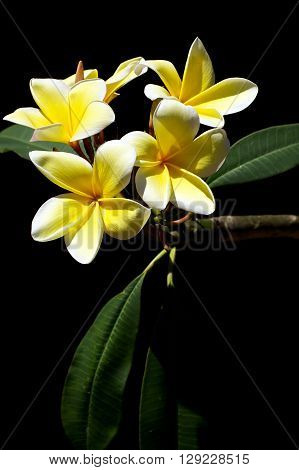 Yellow Plumeria Spa Flowers In Bloom
