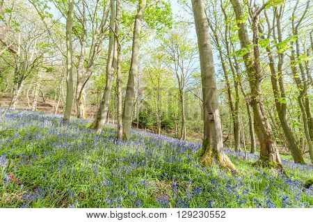 Maple Tree Woodland at Spring with Blossom Bluebell Flowers