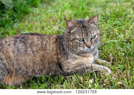 Gray female cat relaxing in the mowed grass