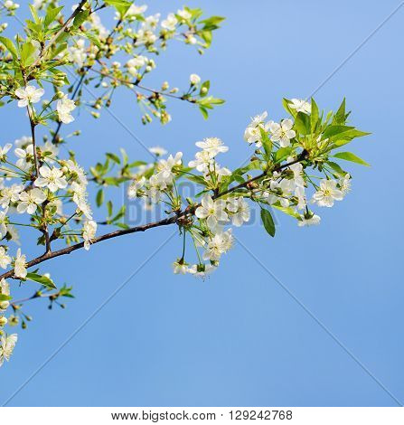 flowers of a cherry tree which blooms on the way