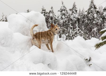 dog portrait on snowdrift in winter day