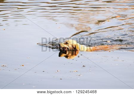 Young Golden retriever dog swimming in the water