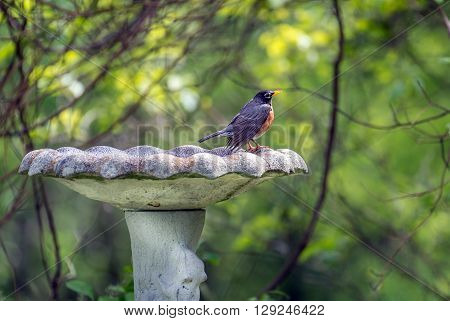 American Robin perched in the sunlight on an old rustic bird bath outdoors during Springtime