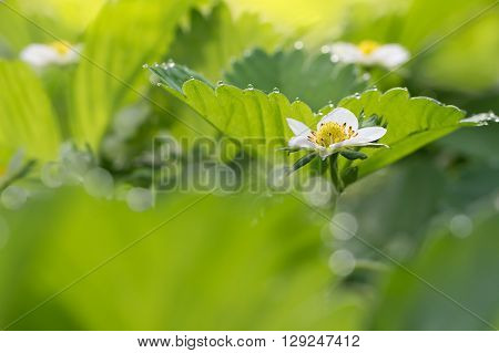 closeup flower of strawberry and leaf with dew drops in the early morning