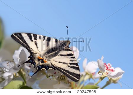 closeup beautiful giant Swallowtail butterfly (Papilionidae) on flowers of pear tree against the blue sky