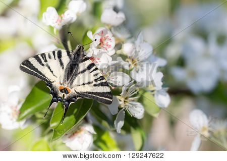 closeup beautiful giant Swallowtail butterfly (Papilionidae) on flowers of pear tree